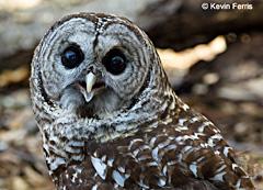 barred-owl-copyright-kevin-ferris
