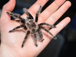 Curly hair tarantula