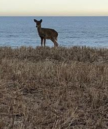 deer on dune JG