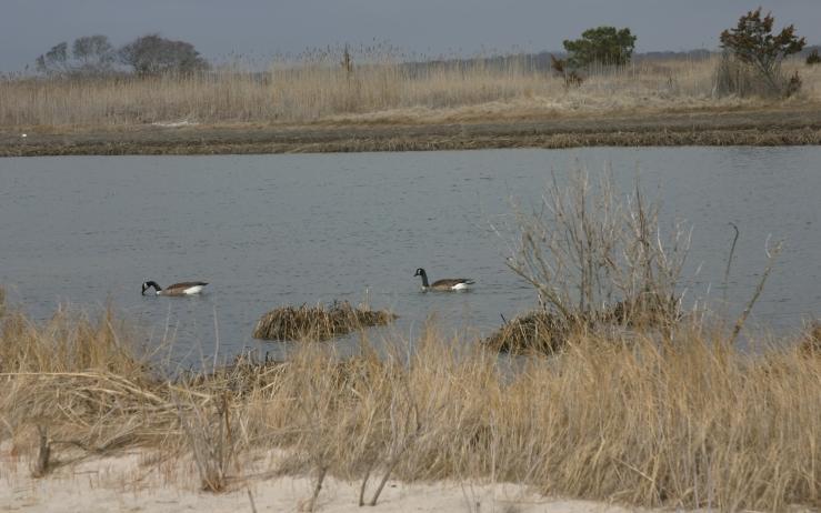 geese-dr.jpg