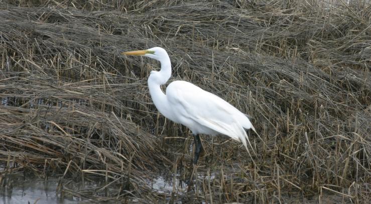 Egret close up