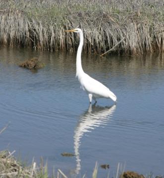 Egret poised