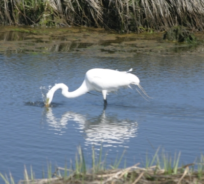 Egret strikes
