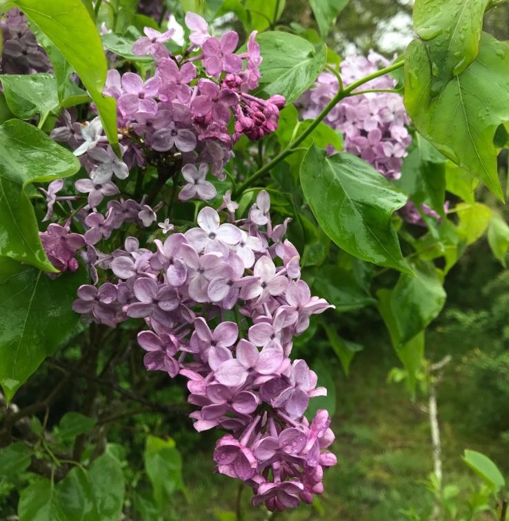 Lilacs 051518