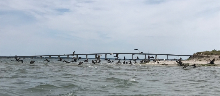 cormorants winging