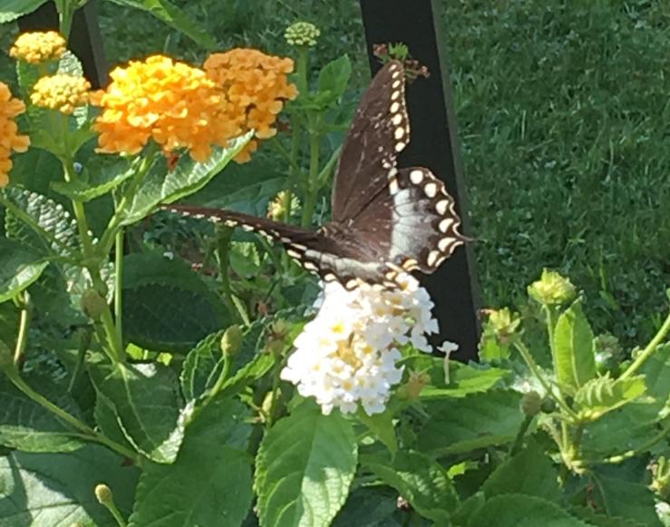 Cashew Butterfly