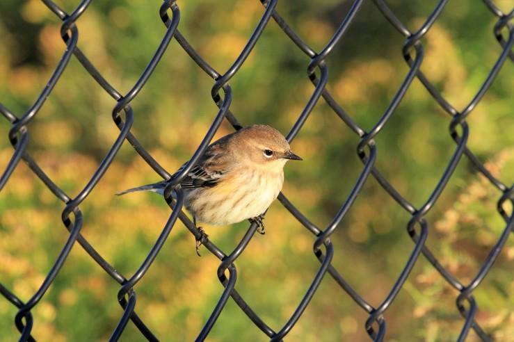 YR Warbler