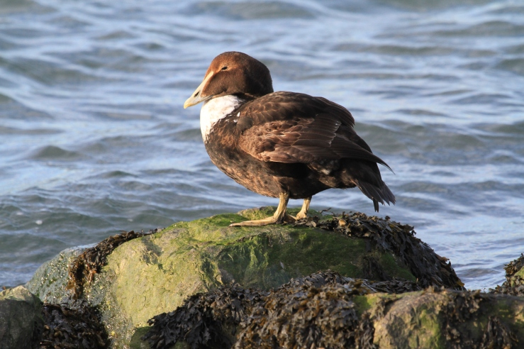 Yearling Male Common Eider