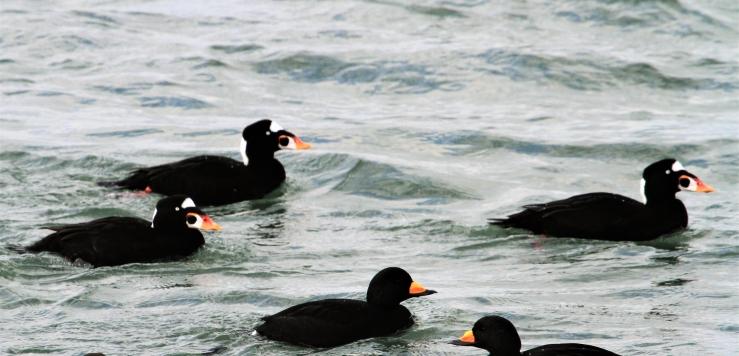surf+black scoters