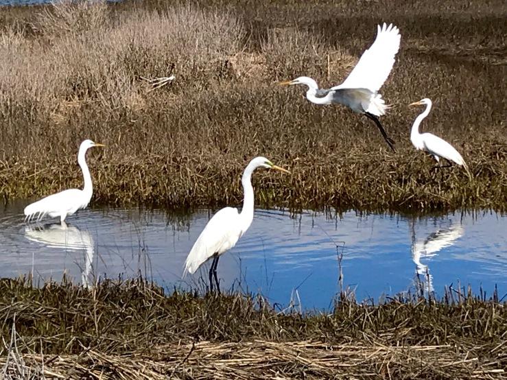 Egrets AB 0423