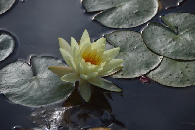 waterlilyNG