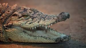 crocodilian