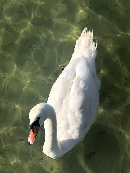 swan Pat Prentis