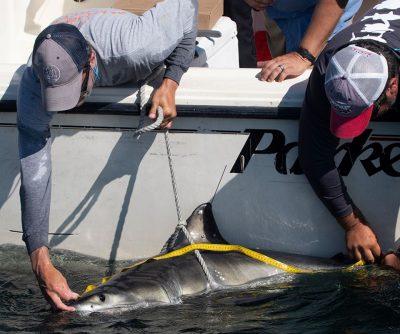 White-Shark-QWR