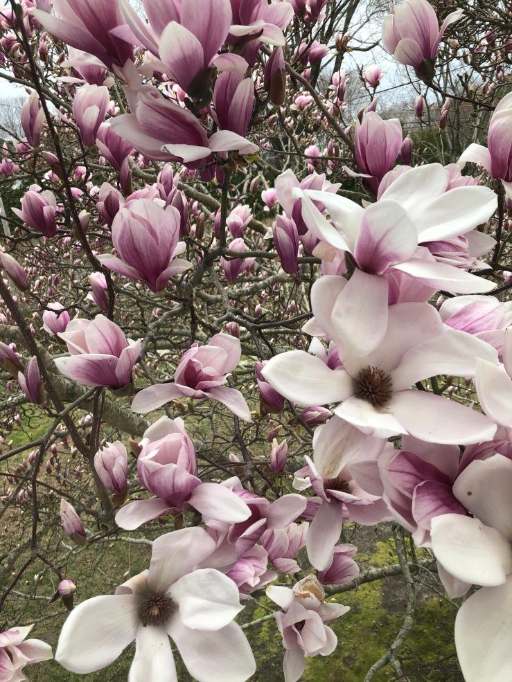 Magnolias GR
