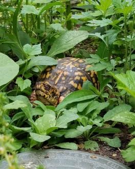 QWR box turtle