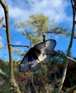 QWR butterfly
