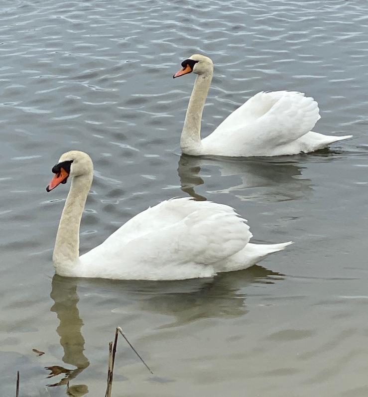 swans AB