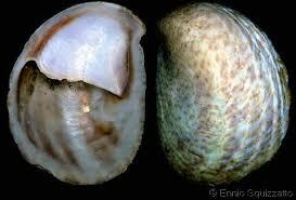 Slipper Shell