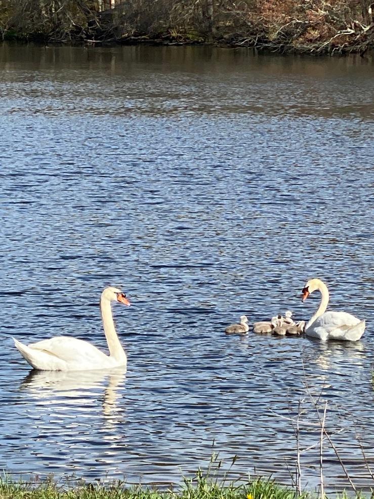 swan brood E Caputo