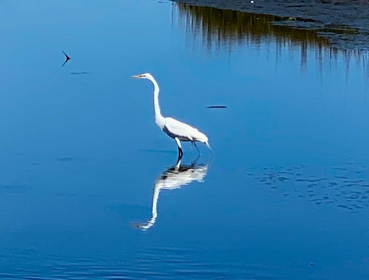 Egret low tide AB