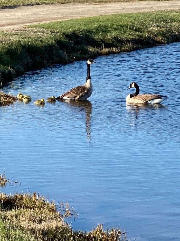 Goose family AB