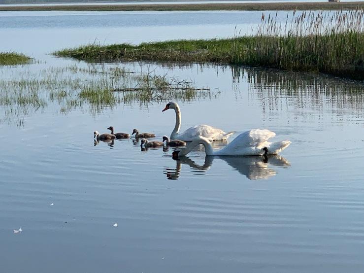 Swan family PP