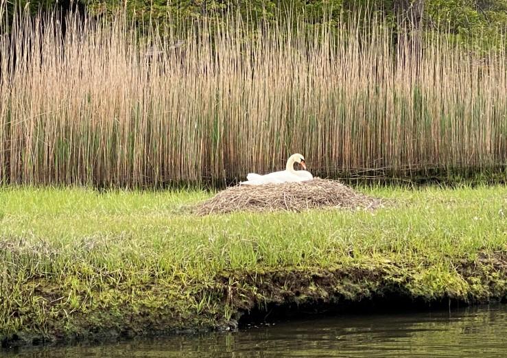 Swan nest MM (2)